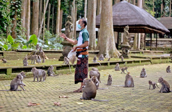 A lack of tourism means the Sangeh Monkey Forest sanctuary has lost out on admission fees and is running low on money to purchase food for them, said operations manager Made Mohon.